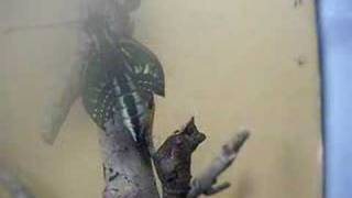 家で育てていたアゲハ蝶(ナミアゲハ)の羽化の瞬間です。羽化の直前には...