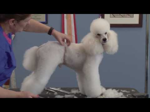 Retro Poodle Trims: Seven Styles – One Dog