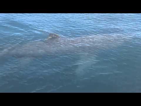 Hoy en la bahía de Cádiz. En frente Santa Petri se avistó un tiburon blanco
