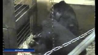 В зоопарке Токио родился детеныш гориллы(В зоопарке Токио родился детеныш гориллы   In the zoo Tokyo was born calf gorilla., 2013-07-08T20:45:50.000Z)
