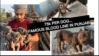Famous Miagi's Blood Line | American Bully Puppies available | Small Size in Punjab | Prabh Singh