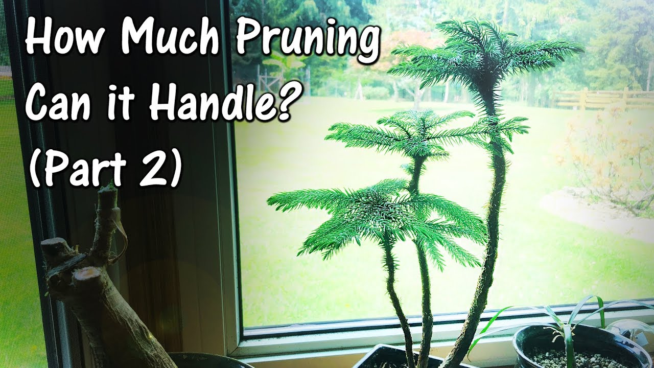Norfolk Island Pine Bonsai (After Heavy Pruning) Part 2 on easter lily plant care, tulip plant care, asparagus fern plant care, marble queen plant care, maidenhair fern plant care, dragon tree plant care, confederate rose plant care, flowers plant care, areca palm plant care, chinese evergreen plant care, mango plant care, morning glory plant care, weeping fig plant care, boston fern plant care, jasmine plant care, trumpet vine plant care, boxwood plant care, african violet plant care, creeping fig plant care, paradise palm plant care,