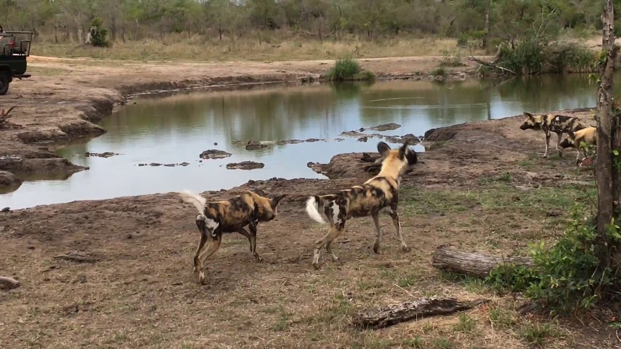Wild Dogs A Baboon Youtube