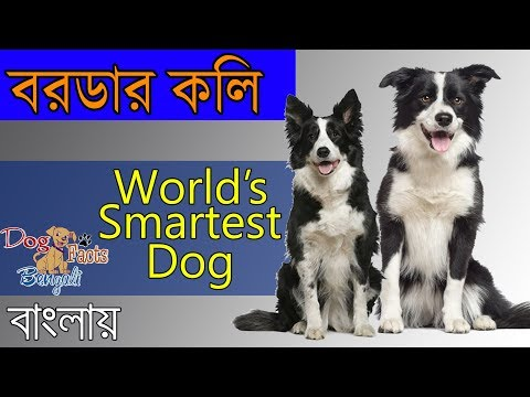 Border collie dog facts in Bengali | World's smartest dog | Dog Facts Bengali | Popular Dogs