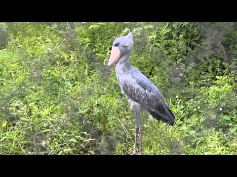Schoenbekooievaar / Bec-en-sabot du Nil / Shoebill Stork : Pairi Daiza