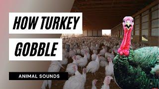 Video The Animal Sounds: Turkey (Bird) Sound Effect - Animation download MP3, 3GP, MP4, WEBM, AVI, FLV Oktober 2018