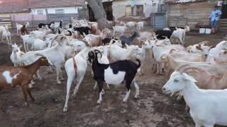 Keçilerin tekeye gelmesi