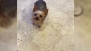Dog Drops Food Out of Mouth to Get a Treat