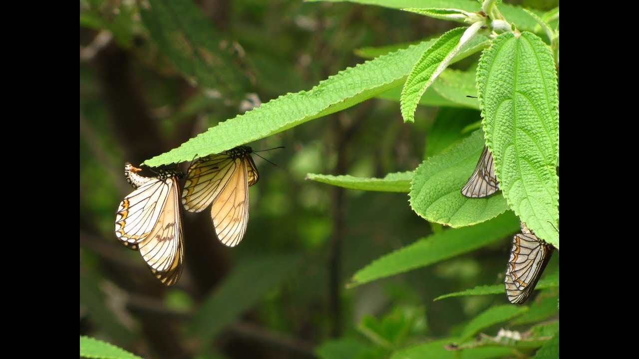 Yellow Coster Butterfly Roost in Dharamshala