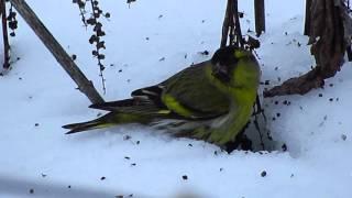 Птицы посёлка Чернянка - Чиж