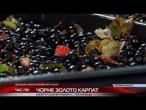 Чорне золото Карпат: на Закарпатті у розпалі сезон збору яфин