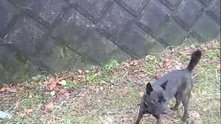 甲斐犬「さくら」の壁登り ちょっとだけ滑りました。 by 御殿犬舎.