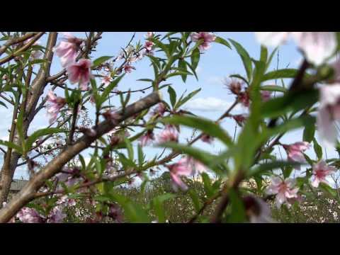 peach research at Texas A&M AgriLife b-roll