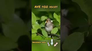 El ave de 400 voces...