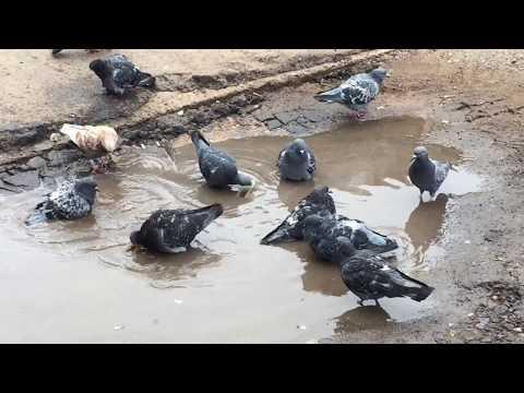 Вопрос: По какой причине и почему голубей называют крылатыми крысами?