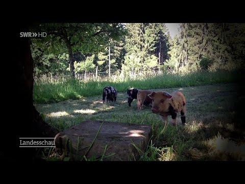 Freilaufende Riesen-Schweine