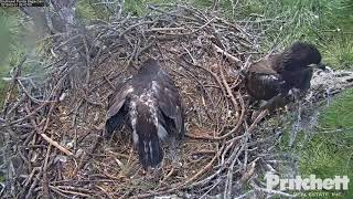 03-01-19 SWFL eagles; E12 flies right over E13.