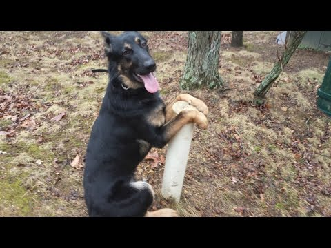 9 Month Old German Shepherd Mix 'Trigger' Before/After Video | Obedience Training Harrisonburg