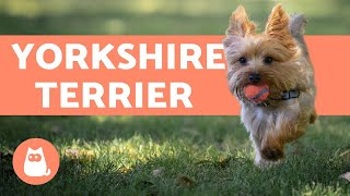 Yorkshire Terrier  Care and Training Information