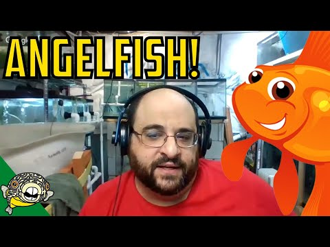 How To Breed Angelfish With Michael's Fish Room.