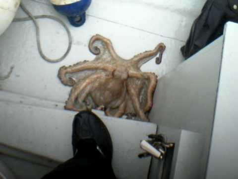 Amazing Video: Octopus Changes Color to Blend in with Fisherman's Boat in about 2 Seconds