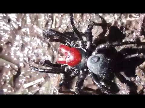 Red-headed Mouse Spider (Omnibus) 🕷   😱