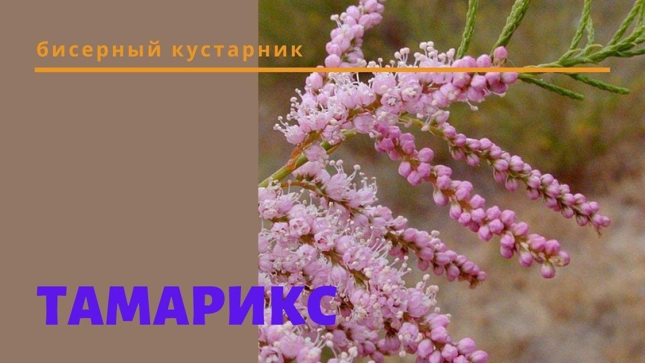 ТАМАРИКС БИСЕРНЫЙ. Декоративный кустарник в саду, цветущий куст для дачи