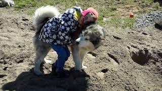 Аляскинский маламут: особенности поведения,  воспитание щенков, история породы
