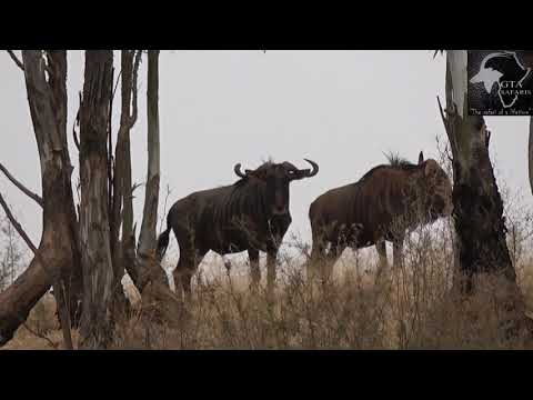 """31"""" Blue Wildebeest Hunt. Gateway To Africa Safaris"""