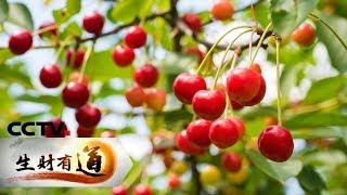 《生财有道》四川汶川:致富一方的樱桃 20190606 | Cctv财经