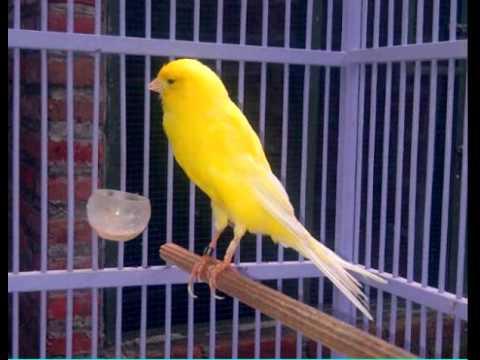 Suara burung gelatik wingko I masteran favorit untuk burung kenari