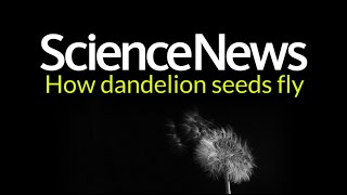 How dandelion seeds fly | Science News