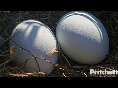 SWFL Eagles ~ Two Perfect Eggs For Harriet & M15 ~  11.20.18