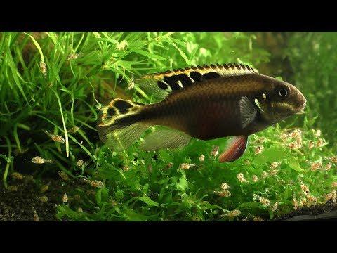 Kribensis  ( Pelvicachromis Pulcher )