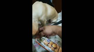 Gemboel The Chihuahua Eat Peanut Butter Cookies - 16 February 2019