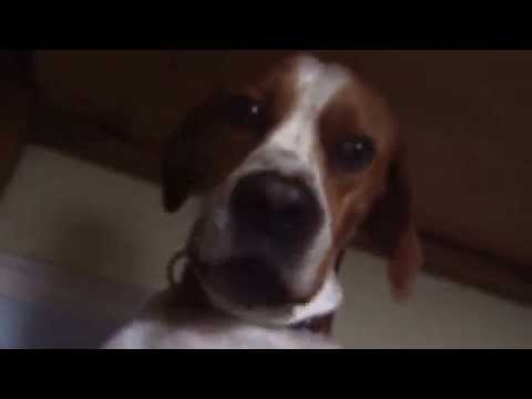 Talking dog Tucker a Portuguese Pointer is asking for his breakfast