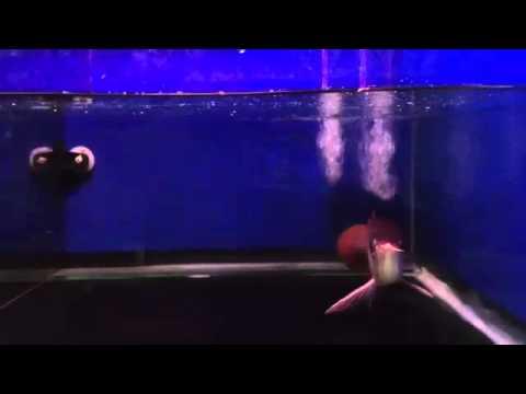 """ขายปลามังกรแดงsuper red ขนาด 9""""-10"""" ราคา 18000 ..."""