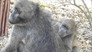 Spa treatment for baboons