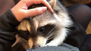 That Raccoon Cafe In Seoul Everyone Is Hyped About