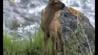 Дикий Йеллоустон Волчица /Документальный фильм National Geographic