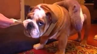 Копия видео Копия видео Копия видео Английский бульдог  Все О Домашних Животных