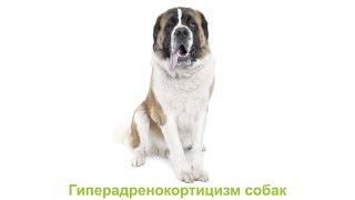 Гиперадренокортицизм собак. Ветеринарная клиника Био-Вет.
