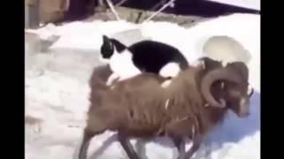 Ты не поверишь! кот едет на баране!!!!!!!!