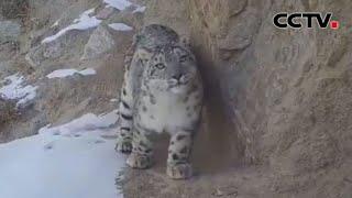 甘肃阿克塞:红外相机拍到雪豹等野生动物影像 |《中国新闻》CCTV中文国际 - YouTube