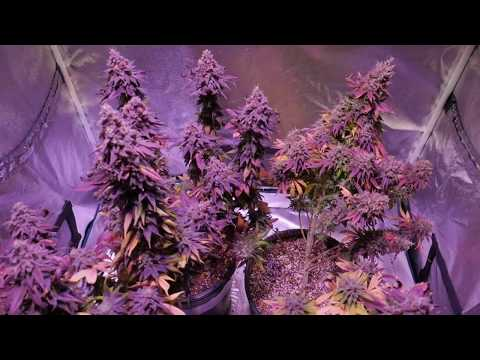 AUTOFLOWER CANNABIS QUESTIONS AND ANSWERS - THINGS TO KNOW