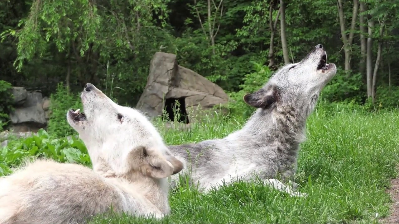 Sometimes Wolves Sing Just to Make Music, as We Do