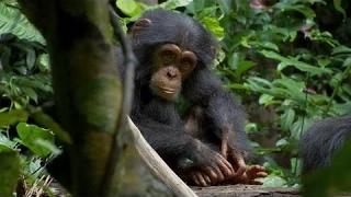 Disneynatureの2012ムービーチンパンジー(2012)の第2のトレーラー。毎...