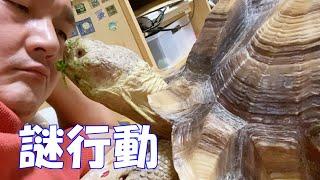 カメが飼い主にキスをする!?ケヅメリクガメの謎行動。そしてお外で食べ放題!