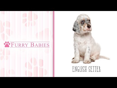 Is the English Setter the right breed for you?