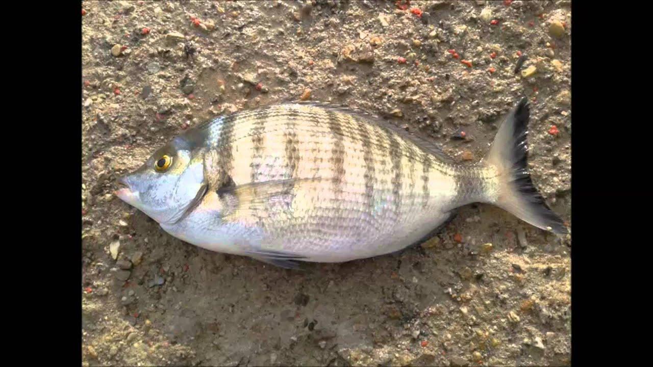 Especies de peces mas comunes en el mar mediterraneo por - Fotos de peces del mediterraneo ...